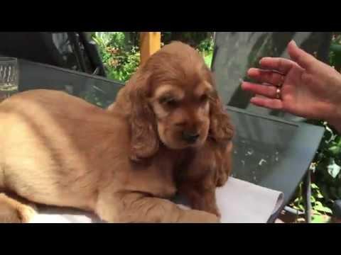 Checkers - English Cocker Spaniel Puppy
