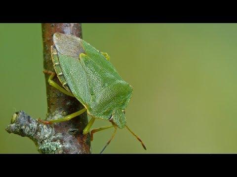 Щитник зеленый древесный и интересные факты о нем