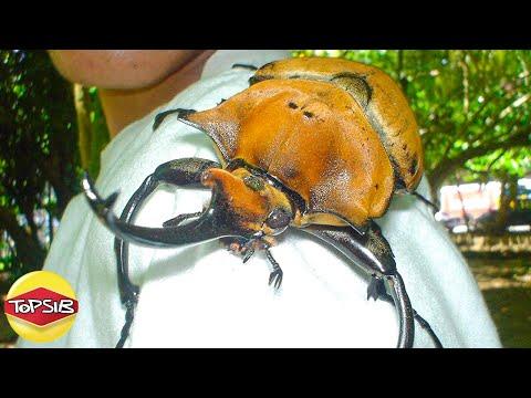10 แมลงยักษ์ใหญ่ที่สุดเท่าที่เคยถูกพบบนโลกใบนี้ (ใหญ่และยาว)