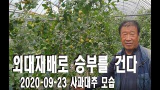사과대추(왕대추) 외대재배 수확직전 모습