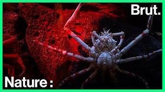 Voici le crabe-araignée géant du Japon