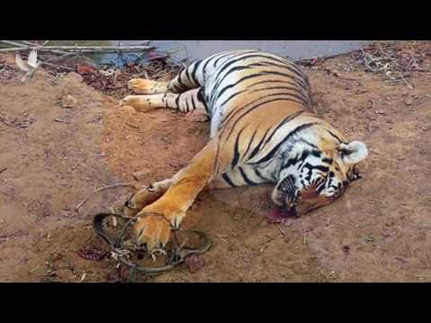 Milan Jeglík, I ty můžeš chránit tygra!