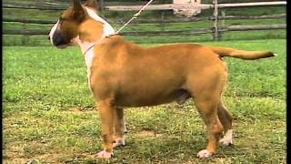 Bull Terrier - Akc Dog Breed Series