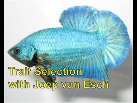 Betta Selective Breeding with Joep van Esch: Trait Selection