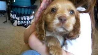 Cocker Spaniel Buff Puppy For Sale Registered