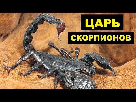 Разведение Императорского Скорпиона в домашних условиях как бизнес идея