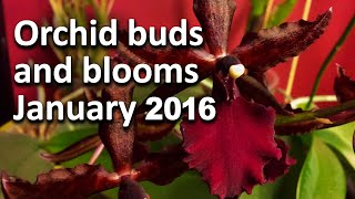 Orchid buds and blooms - January 2016