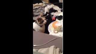 Cat steals cake