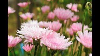 日本では珍しい桃色タンポポの花とコラボしました。録音は2018.1...