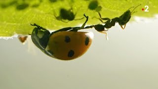 Coccinelle VS pucerons VS fourmis - ZAPPING SAUVAGE