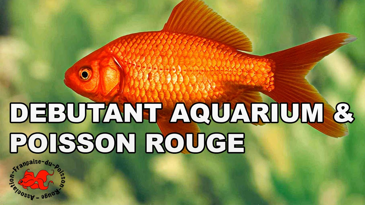 Debutant Aquarium Et Poisson Rouge Youtube