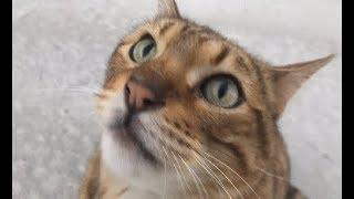 길고양이 생활을 하고 있는 뱅갈고양이를 드디어  만났습니다!!
