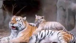 Drapieżniki - tygrysy