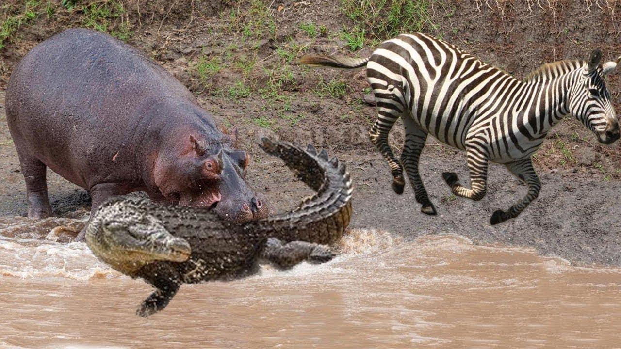 картинка бегемот ест крокодила