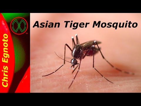 Asian Tiger Mosquito - The Mosquito To Fear. Alert!