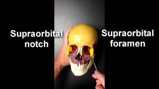 Anatomy of the Skull (Part 2)