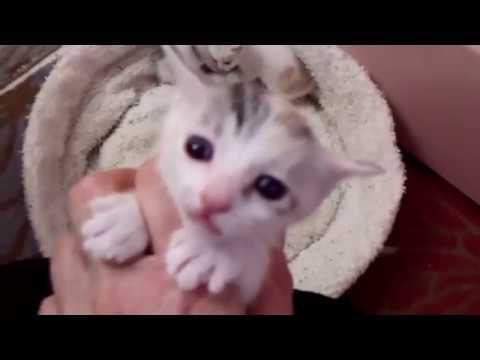 CH Kiddlyn's Cinder-Ella - Japanese Bobtail Kittens - 04/17/18