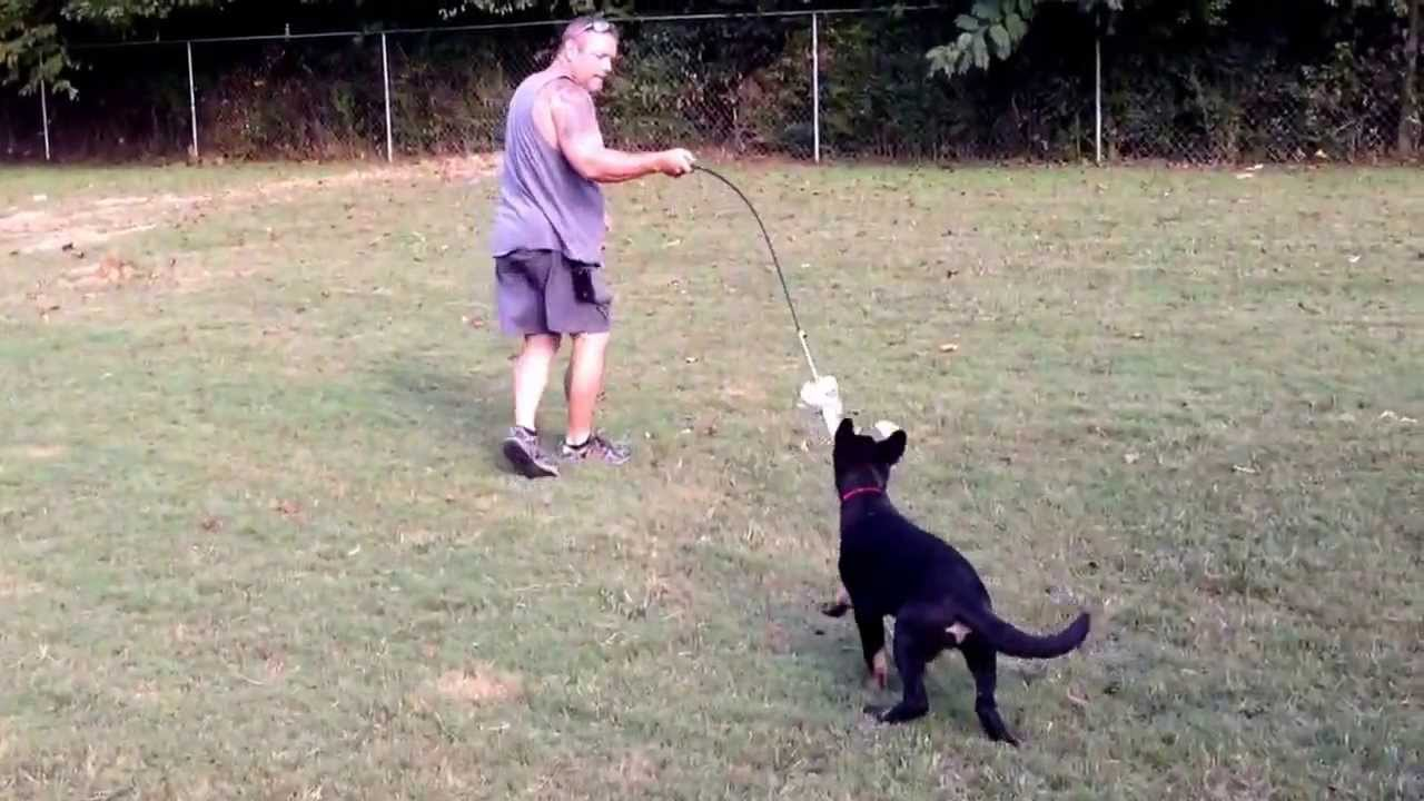German Shepherd Breeder in Chattanooga TN - YouTube