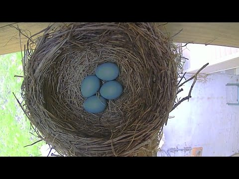 Robin Bird Eggs in Nest Hatching to Fledging Time Lapse