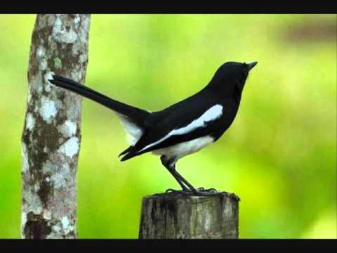 Terapi Kacer Untuk Memancing Bunyi (Magpie Robin)