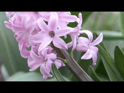 Hyacinthus orientalis - Hyazinthe, Hyacinth