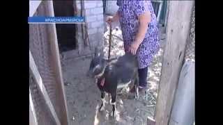 Бродячие собаки загрызли козу у бабушки