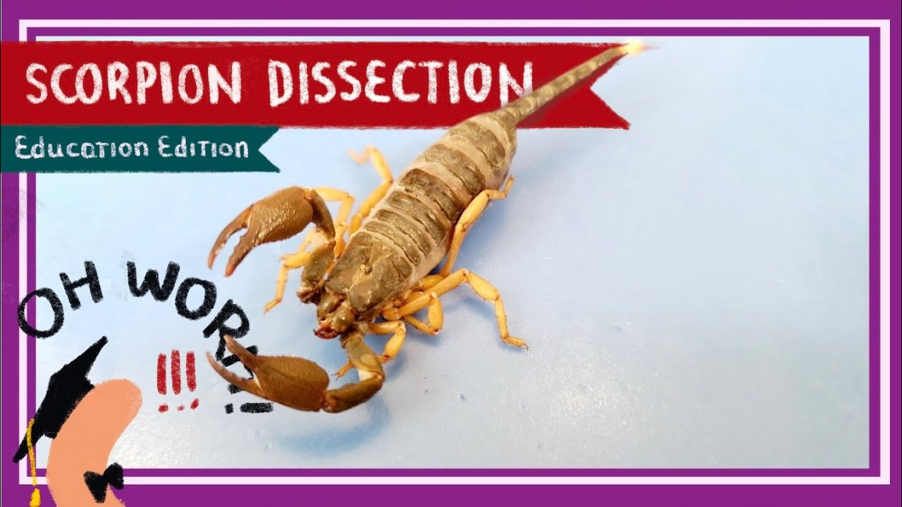 Scorpion Dissection || A Scorpion Under Every Stone