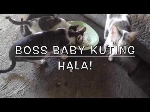 HALA! BOSS BABY KUTiNG WATCH! CUTE FUNNY CATS iN PASiG METRO MANiLA, NCR, PHiLiPPiNES FiLiPiNO PETS