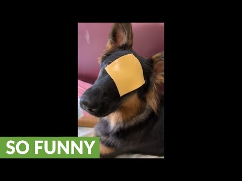 German Shepherd has hilarious reaction to cheese challenge