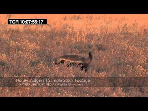 Honey Badger HD Stock Footage Samples (30mins)