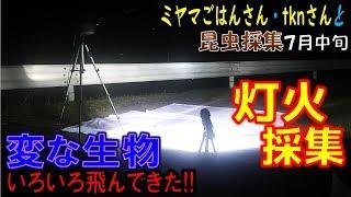 【カブトムシ+クワガタ=昆虫採集】灯火採集でめずらしい生物たくさん...