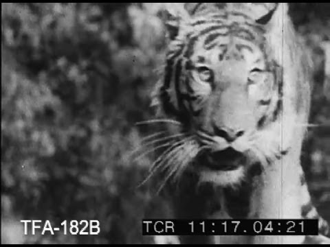 A Tiger Hunt In Bengal, 1950s
