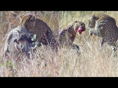 Leopards Fight Over