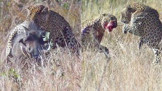 Leopards Fight Over Warthog While it Escapes