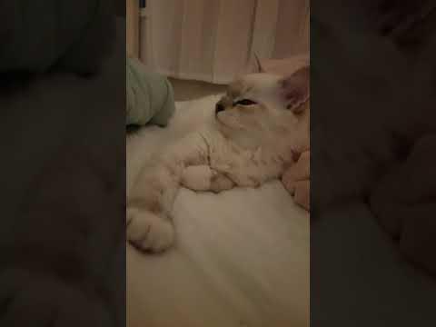 Sleepy ragdoll cat blue lynx mitted -랙돌 블루 링스 미티드 졸린 고양이
