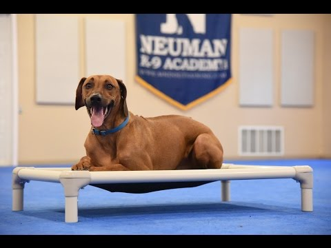 Cooper (Rhodesian Ridgeback) Boot Camp Dog Training Demonstration