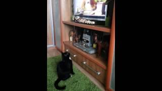 Кошка смотрит телевизор)
