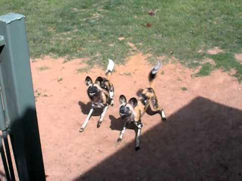 African Wild Dog Feeding Time