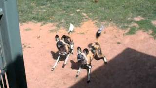 African Wild Dog Feeding Time