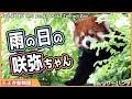 レッサーパンダ 雨の咲弥ちゃん 天王寺動物園 Red panda Osaka Tennoji Zoo