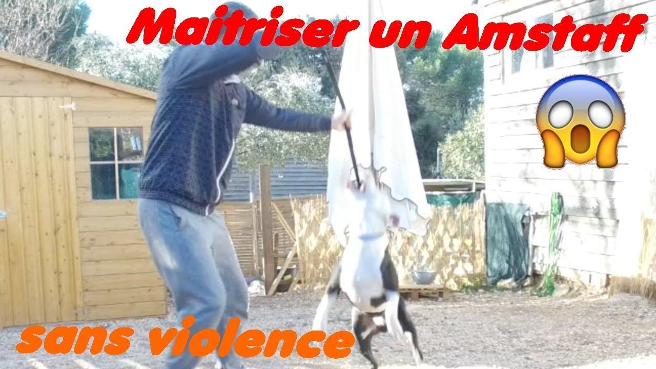 MAITRISER UN AMSTAFF SANS VIOLENCE // ALLDOG