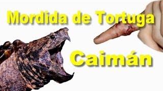 Mordida de tortuga Caimán / SpyderÑa