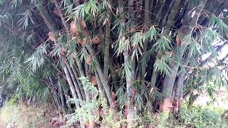 Mature Giant Bamboo Tour