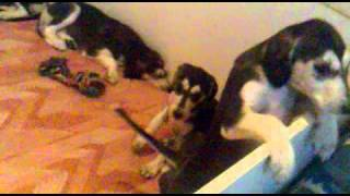 Saluki puppies Dioskury L.mp4