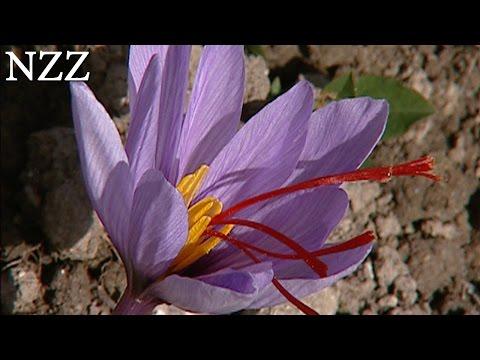 Safran: Das rote Gold - Dokumentation von NZZ Format (2005)