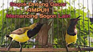 Sogok Ontong Gacor Dor AMPUH Memancing Sogon Lain Ikut Bunyi