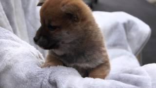 11月1日生まれ柴犬オス babydogs