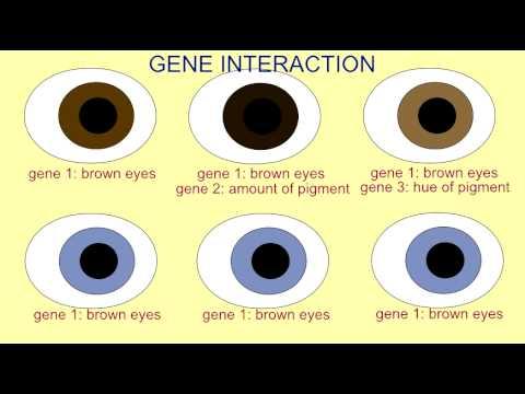 INHERITANCE: GENE INTERACTION IN EYE COLOR - YouTube