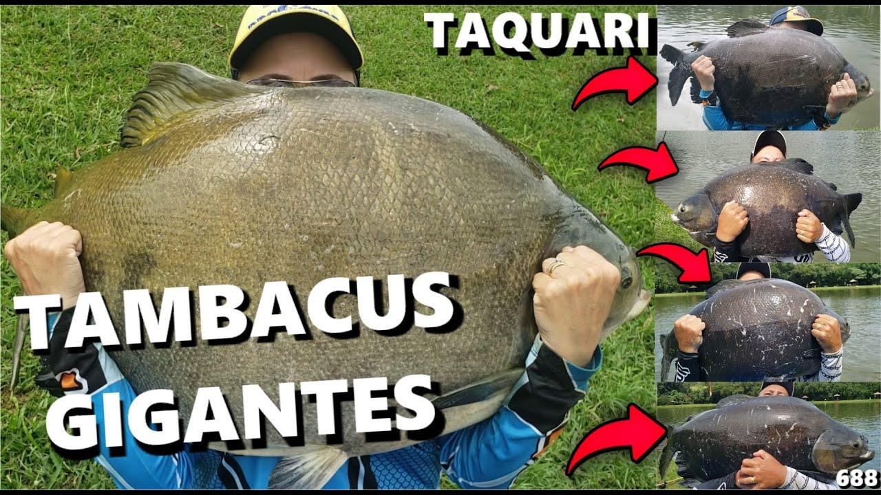 TAQUARI como você NUNCA viu !!! (SÓ PANELA) Fishingtur #688