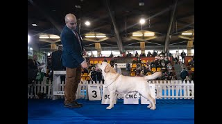 2020 Bosh Champion of Champions  Labrador Retriever